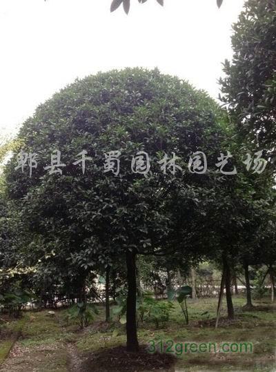 供应10公分丹桂