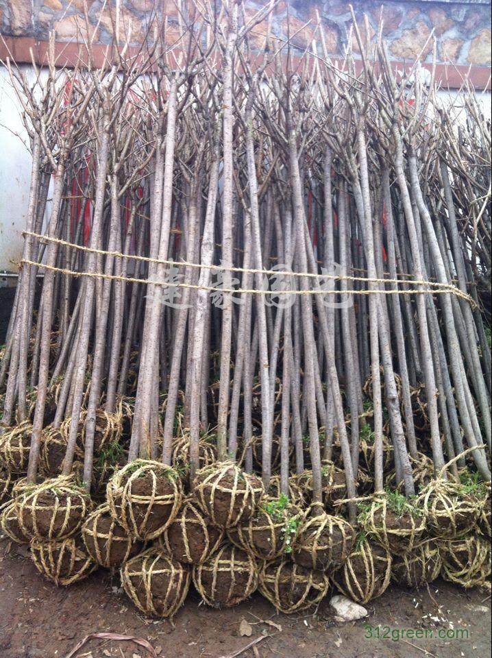 供应樱花树、2-15公分晚樱