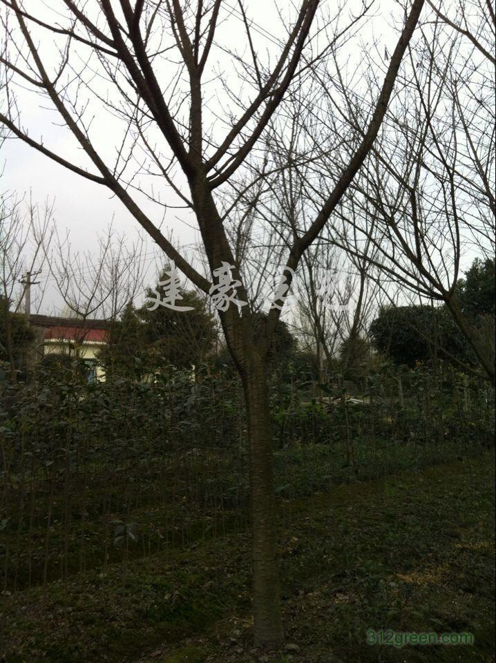 供应樱花树