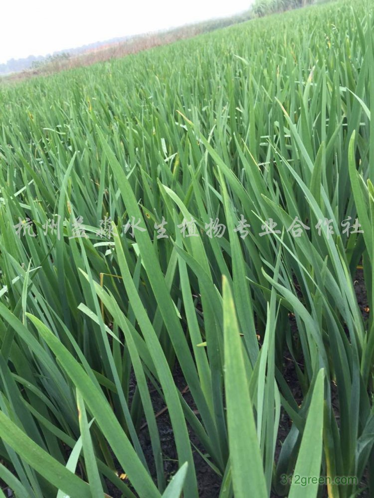供应千屈草、水生鸢尾