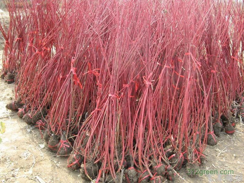 低价现货供应:红叶石楠、红花檵木、红瑞木、红王子锦带、红叶李、红叶桃、红枫、红栌、黄栌、美人梅