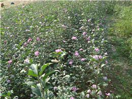 供应玫瑰木槿小苗,高度0.5--1.5米,量大优惠。