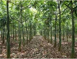 供应发财树,质量好,价格低,量大优惠。