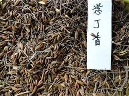 供应紫丁香种子,各种乔木种子,规格齐全