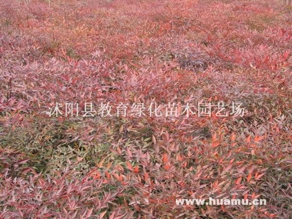 供应:金银木、红叶石楠、瓜子黄杨、棣棠、流苏、紫丁香、龙柏、刺柏