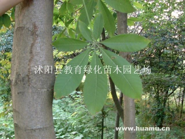 供应:金银木、红叶石楠、瓜子黄杨、龙柏、刺柏、花柏、棣棠、流苏、紫丁香
