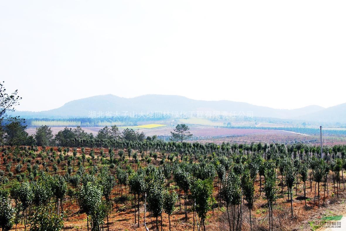 大地园林千亩苗木基地