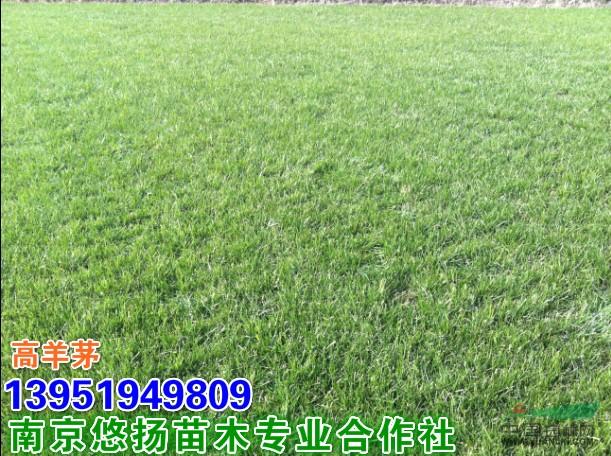 南京草坪批发咯,高羊茅,百慕大,混播黑麦草