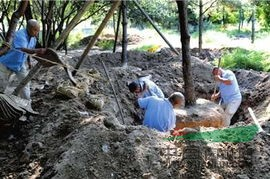 上海挖树找专业的挖树团队-五峰苗圃
