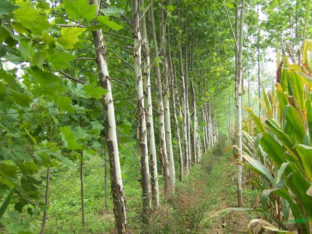 南京的法桐价格 南京的法桐树价格走势 法桐树苗木动态