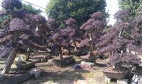 红花桎木古桩,红花继木古桩,红花继木桩,造型红花继木