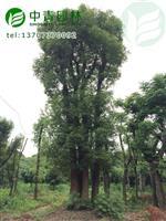 供应四杆多头香樟,四分枝丛生香樟树价格优惠