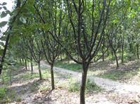 木瓜价格、木瓜苗、苗圃直销
