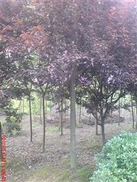 紫叶李 红叶李 乌桕 黄连木 黄栌景观乔灌木报价