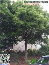 湖南中青园林有限公司供应胸径15厘米到25厘米全冠香樟树