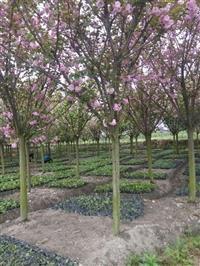 樱花树  供应樱花  日本樱花  成都樱花 樱花好树形