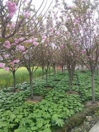 樱花 供应成都樱花 樱花树价格 樱花工程苗 3-4公分樱花