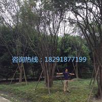 丛生茶条槭,茶条槭基地,茶条槭价格优惠,茶条槭规格齐全。