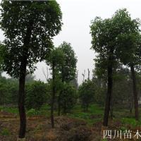 四川香樟树基地,四川小叶香樟批发,四川大叶香樟低价供应