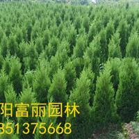 急售800万棵-蜀桧,塔柏,桧柏,河南桧,北京桧柏高0.5米