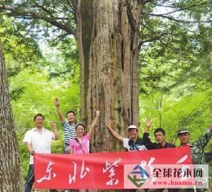 """吉林发现树龄1800年""""巨型""""红豆杉树"""
