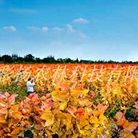 美丽张北,彩色生态建设,红霞杨,园林道路最美丽彩叶景观树种