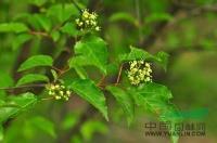 丛生茶条槭园林作用及病虫害防治