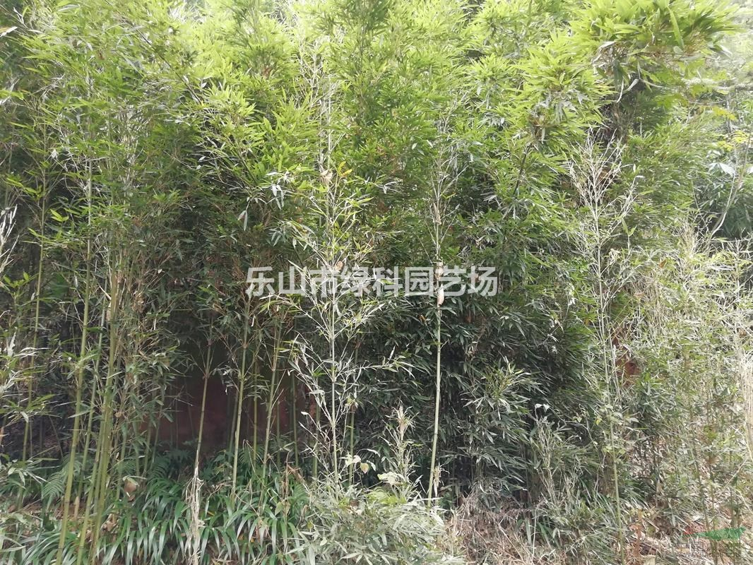 四川乐山市绿科园艺场常年供应2~3公分苦竹