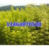 金叶复叶槭 ,五角枫,紫叶稠李,多季玫瑰,山桃稠李,王族海棠