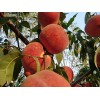 晚熟桃寻求代理商