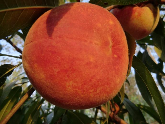 晚熟红蜜桃2