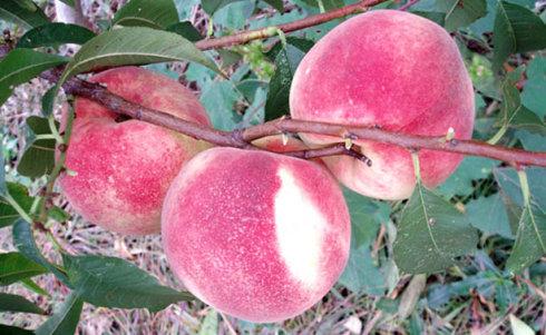 晚熟红蜜桃1