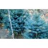 蓝杉种子价格