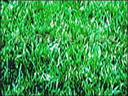 供应果岭草坪百慕达黑麦混播草坪