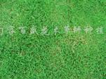 供应矮生百慕大草坪、天堂草