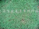 供应百慕大草坪、马尼拉草坪、天堂草系列草坪