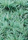 供应金叶麦冬草、红花石竹、鸢尾、红花草、葱兰草