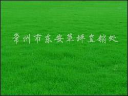 供应各种绿化草种高羊茅、结缕草、白三叶、狗牙根等