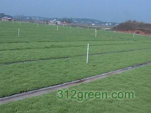 供应河南草坪、马尼拉、天堂草、马蹄金等
