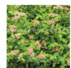 供应海桐、红叶石楠、绣线菊、茑尾、大中小叶麦冬