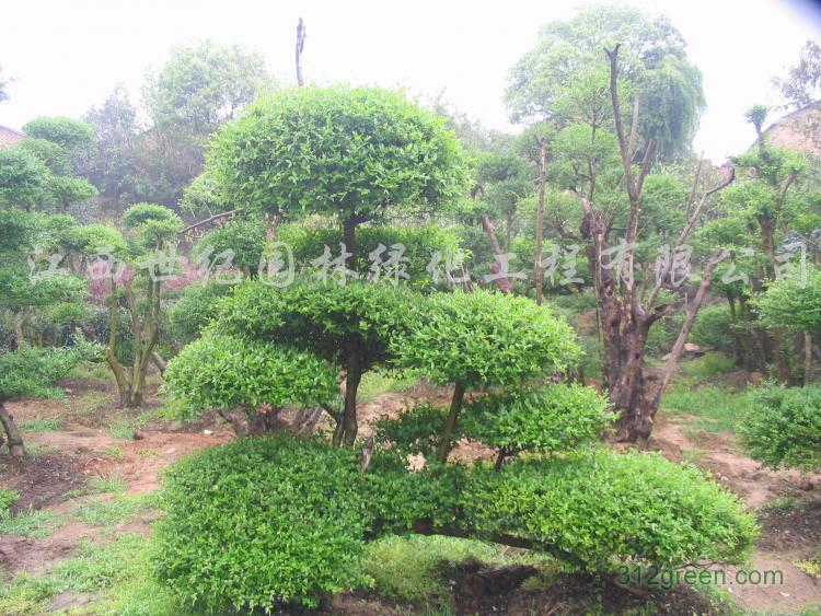 供应女贞景观树