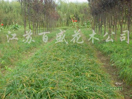 供应麦东草、玉簪、葱兰、红花酢浆草、一串红、芍药