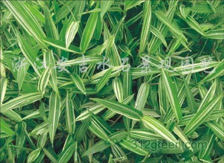 供应竹类植物