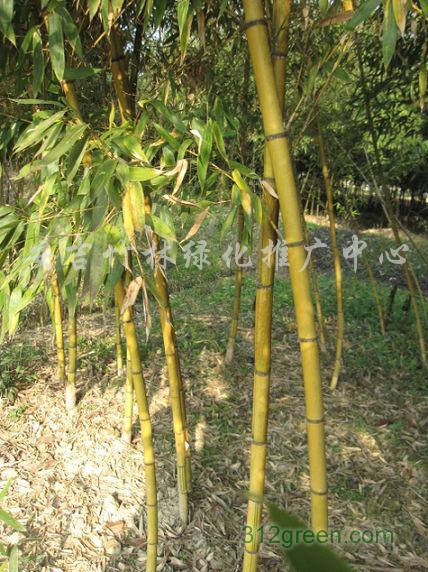 供应黄金竹、黄杆乌哺鸡竹、黄金间碧竹