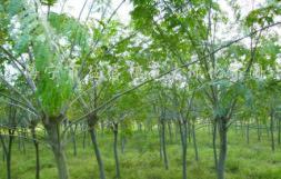 供应石楠、榉树、重阳木、香泡、香樟、黄连木