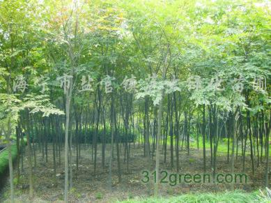 供应香樟、榉树、无患子、栾树、娜塔栎、水栎、枫杨