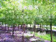 供应无患子、移栽香樟、合欢、榉树、朴树、水栎