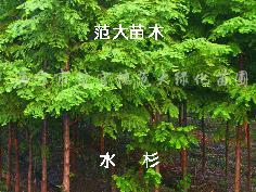 供应水杉、池杉、落羽杉、中山杉、墨杉、法桐