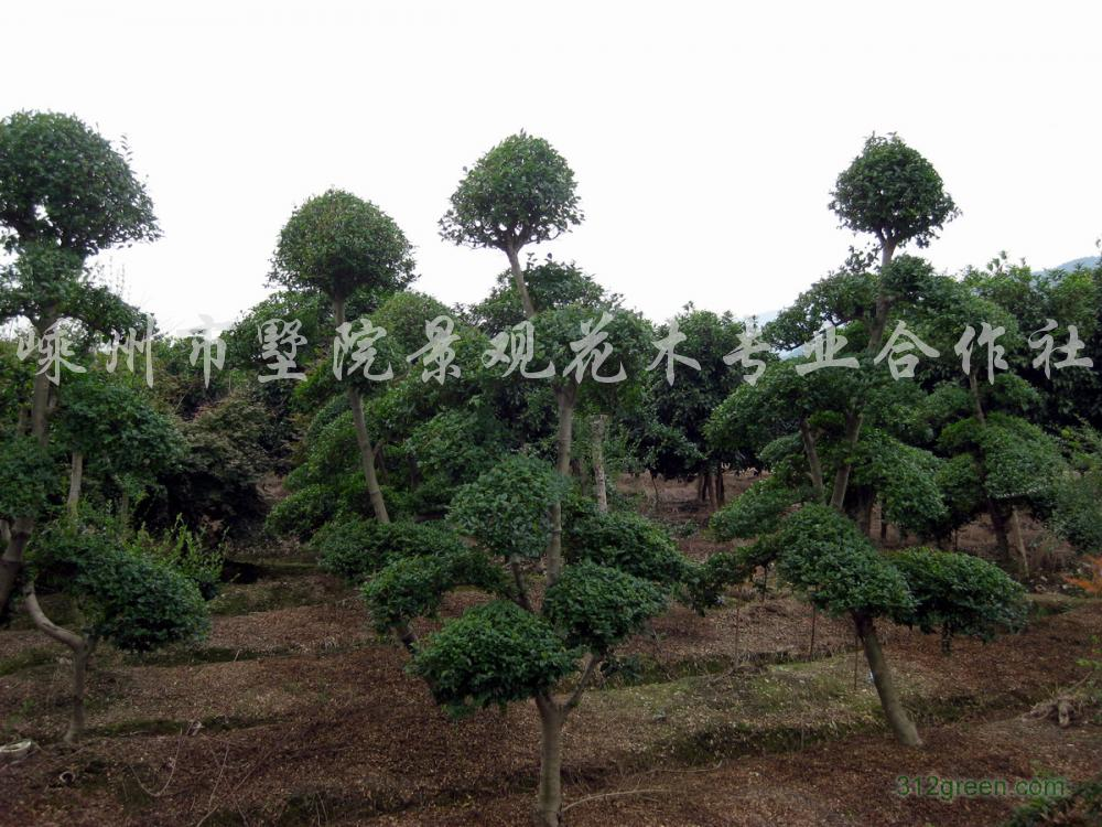 供应造型树(细叶女贞)