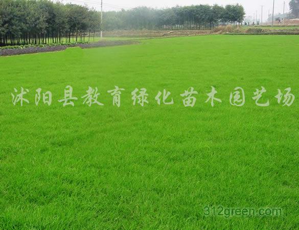 供应各种绿化草坪草、四季青、马尼拉、百慕大等各种草